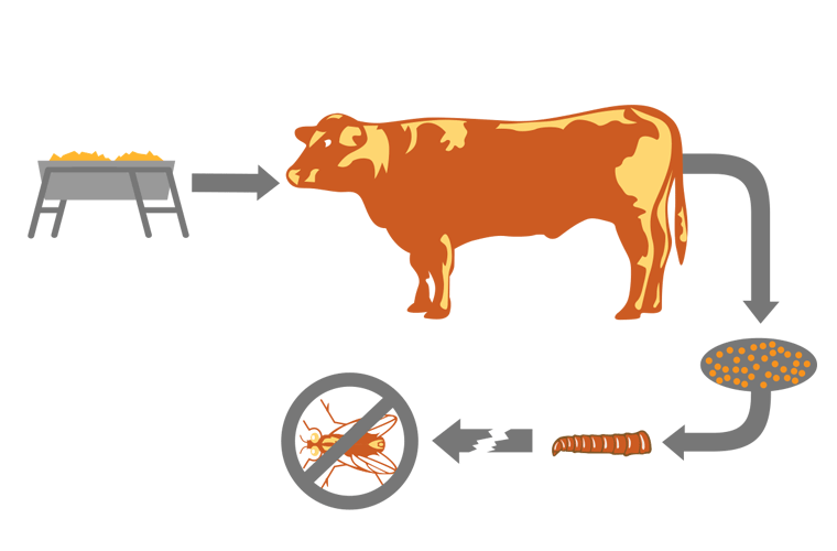 This diagram shows how feed-through fly control products like ClariFly Larvicide provide fly control for cattle on beef feedlots by passing into manure.