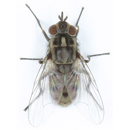 To better understand stable flies and the damage they can cause on cattle, equine and swine operations, click on our Stable Fly icon.