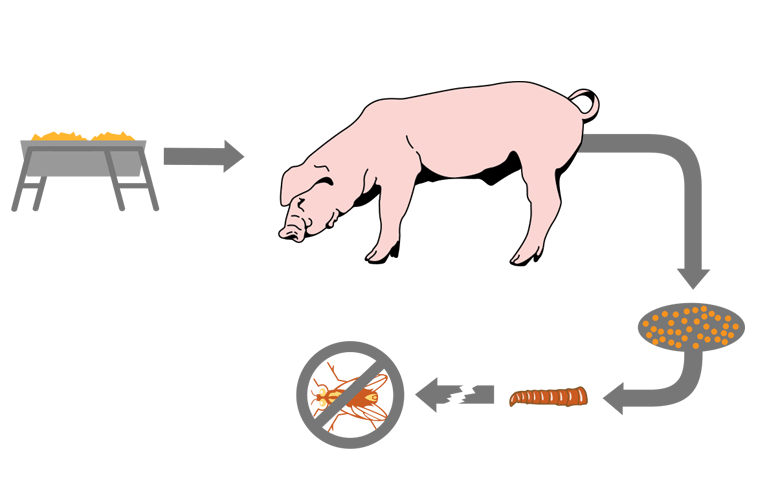 Feed-through fly control products work on swine operations by passing into manure. Our diagram shows how ClariFly Larvicide provides fly control for pigs.