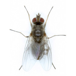 Understand horn flies, their feeding habits and the reasons why horn fly control is so essential for on operations by clicking this horn fly icon.