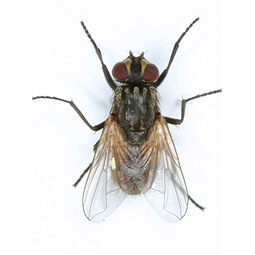 Learn more about house flies and house fly control  by clicking on this icon. Feed-through fly control starts with understanding the problem.